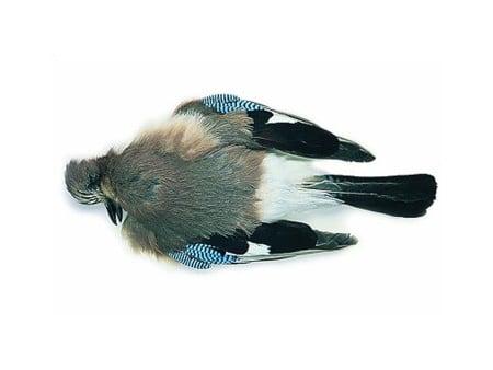 Blue Jay Complete Skin