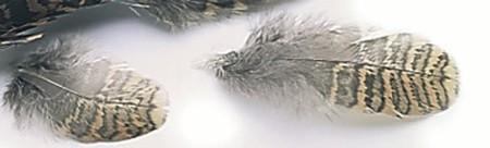 Woodcock Body Plumage