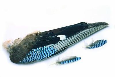 Veniard Blue Jay Whole Wings