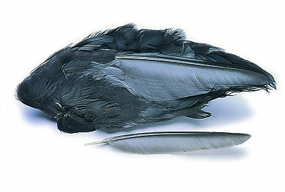 Veniard Coot Wings Whole