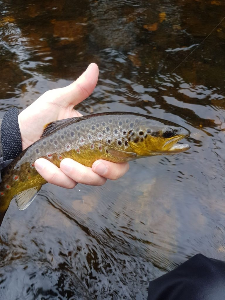 Brown Trout on a Size 12 Spider